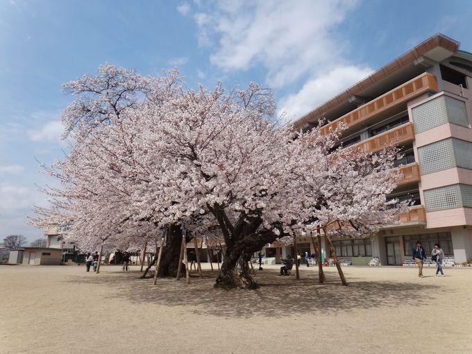 校庭のド真ん中に立派な桜の巨木が5本!!