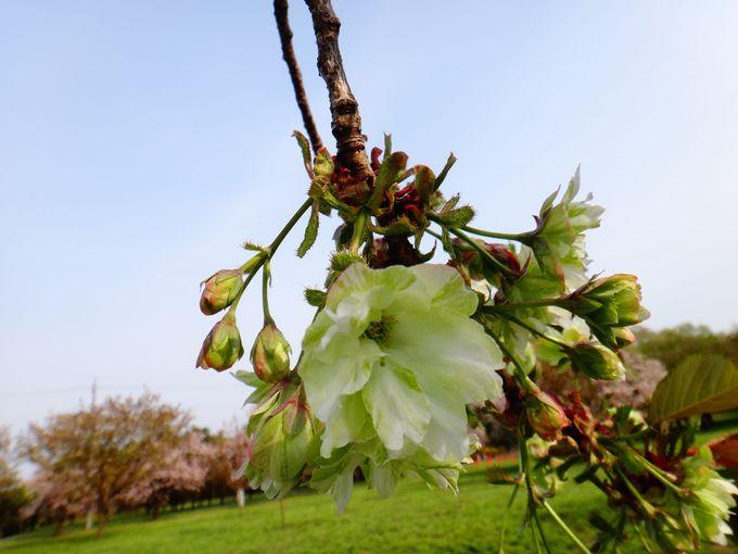 桜はピンクだけじゃない!緑色の御衣黄(ギョイコウ)