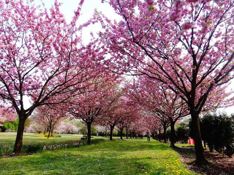まるで桜図鑑!!350種1,000本の桜が咲く「日本花の会・結城農場」