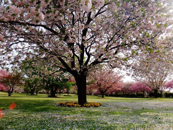 なんと8ヶ月に渡り桜を楽しめます!!