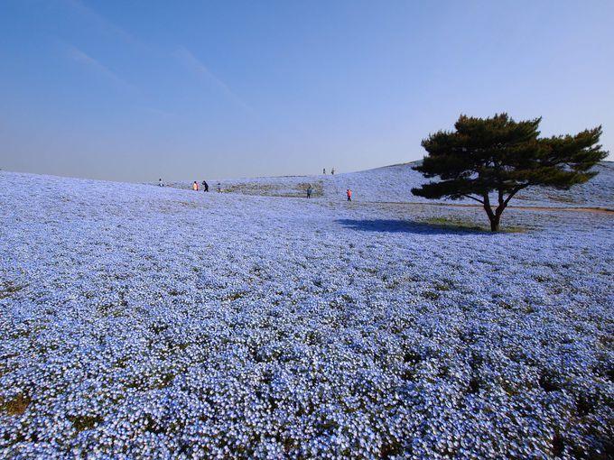 青一色!!ネモフィラが咲く国営ひたち海浜公園「みはらしの丘」