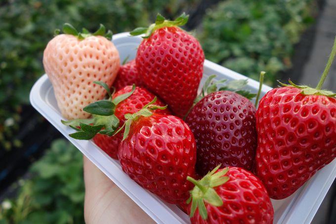 満足度120%!!珍しい品種も!!8種類以上のイチゴが食べ放題