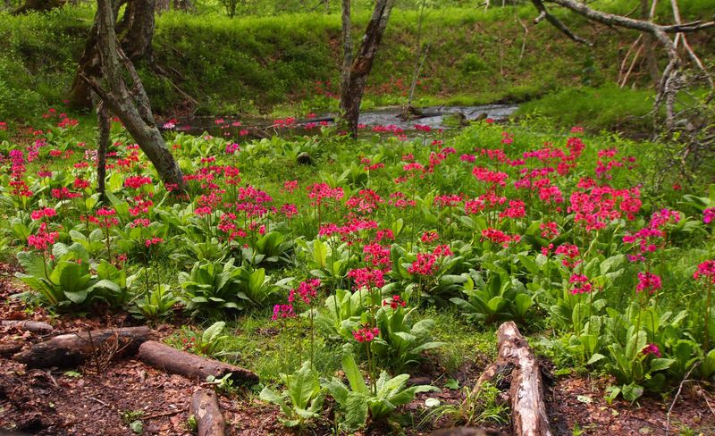奥日光・千手ヶ浜の美しい風景の中に咲く「クリンソウ」独占鑑賞法