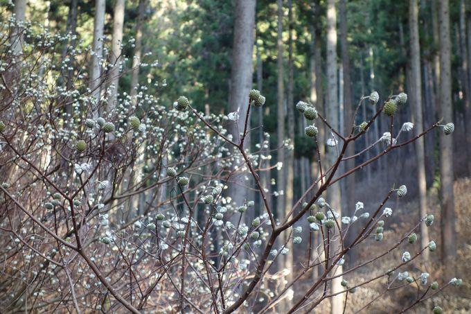 ベストシーズンはソメイヨシノが咲く頃!!開花前も幻想的