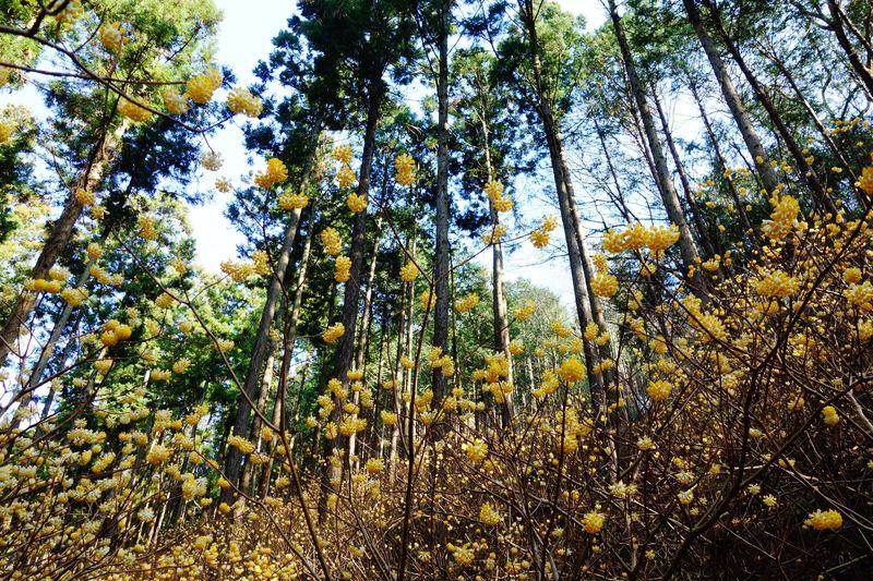 妖精の森へ 甘〜い香りで春を告げる栃木県茂木町ミツマタ群生地「焼森山」