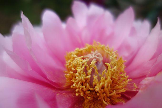 美人にたとえられる牡丹と芍薬の違いって何?