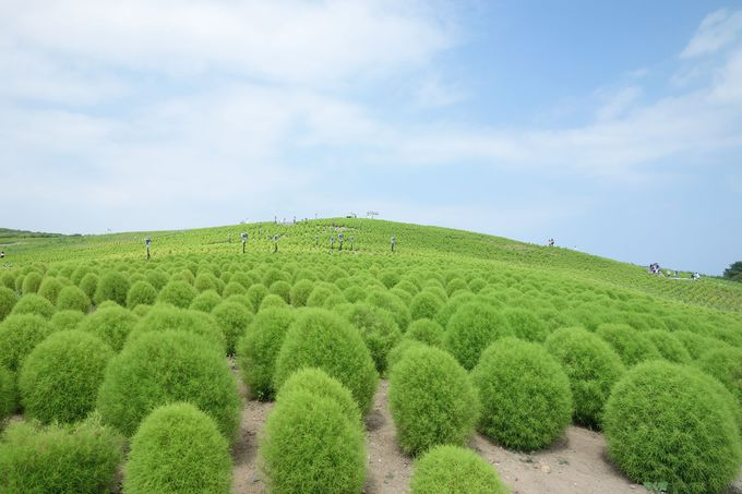 夏の日差しを浴びて緑コキアがすくすく成長中!!