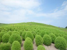 もふもふキュートなコキア!茨城「国営ひたち海浜公園」に夏色の風が吹く