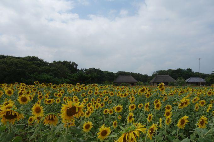 花の聖地「国営ひたち海浜公園」は夏色の花が元気に咲いています!!