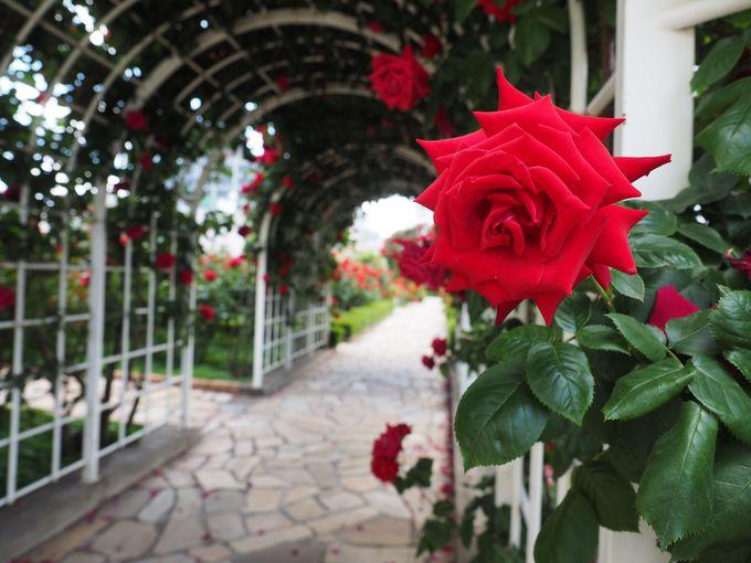 真っ赤なバラが咲き誇る花絶景