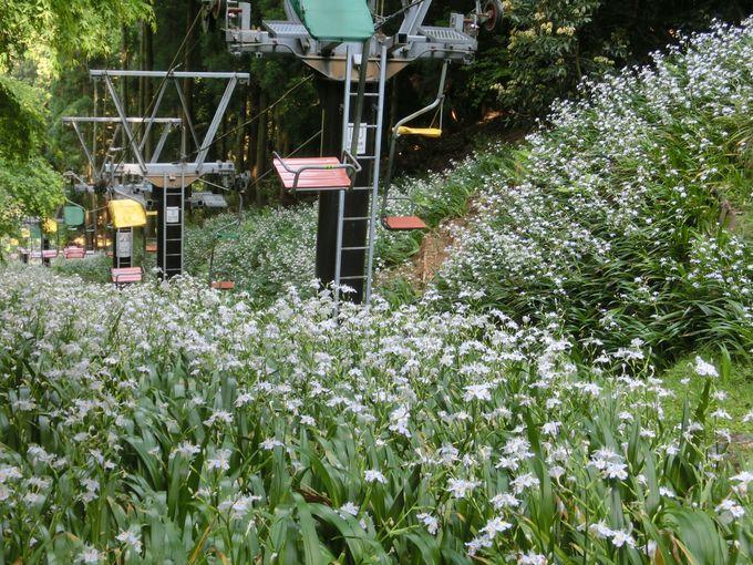 天下分け目の「賤ヶ岳古戦場」花の絨毯を進むリフトで頂上へ