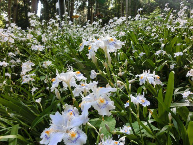 シャガ(著莪)の花