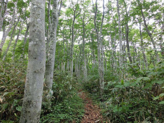 ブナ林の登山道がオススメ!