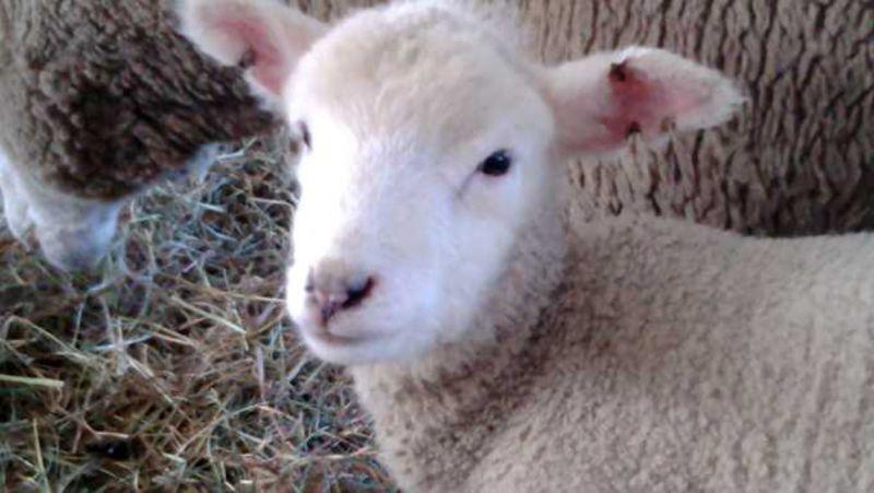 小岩井農場に羊の赤ちゃんを見に行こう!——岩手県雫石町