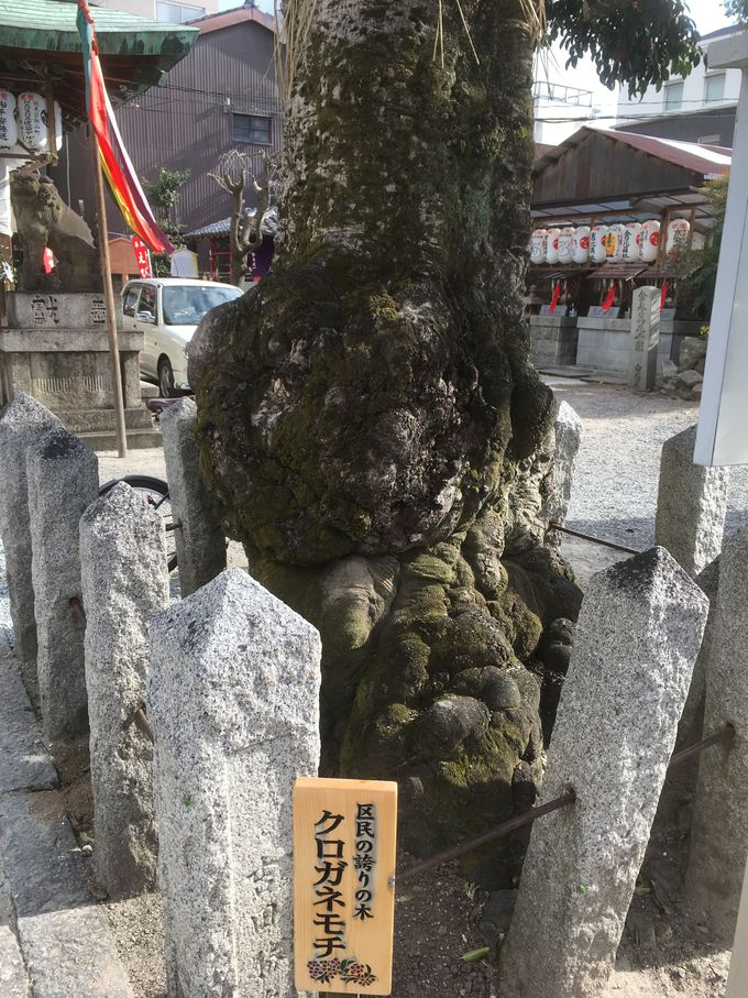 京都市指定天然記念物「樹齢1200年のクロガネモチの木」がご神木