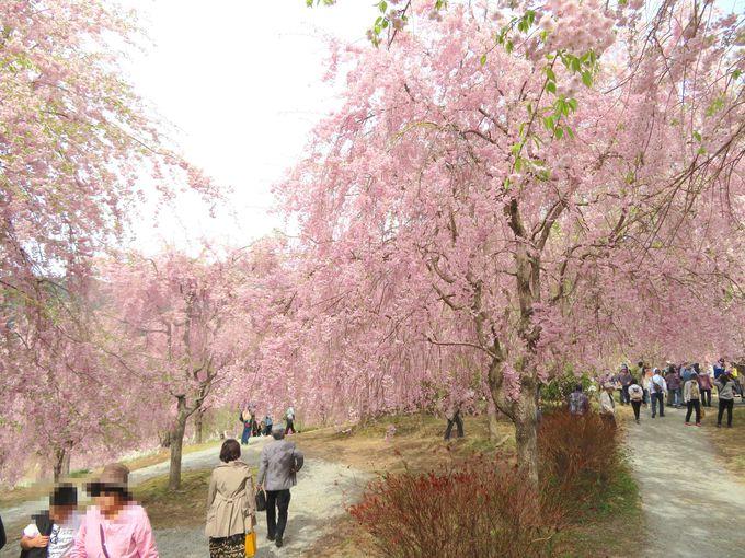桜花の下をのんびり散歩できる「天空の庭」