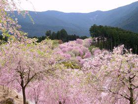 山中に桜の絶景!奈良・東吉野村「高見の郷」の開園は4月下旬まで