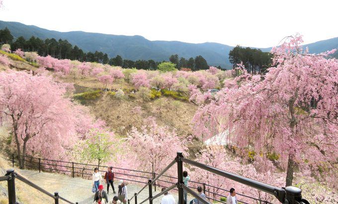 絶景の展望台へ!ひと目1000本のしだれ桜