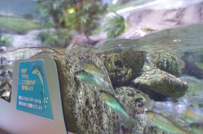 川をジャンプする魚達