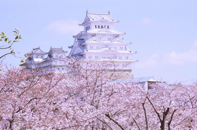 姫路城天守が桜の上に顔を出す