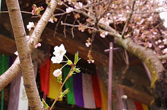2018年の紀三井寺の桜まつり