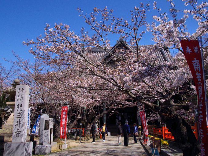 紀三井寺境内で桜と団子と
