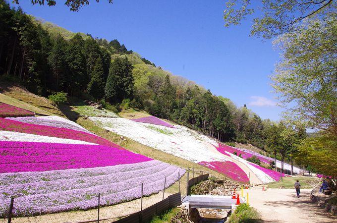 姫路の春の風物詩、GWはヤマサの「芝桜の小道」へ