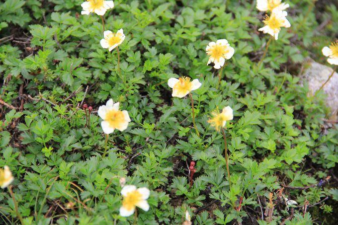 小さいけれど草花ではなく樹木!?白く可憐な「チングルマ」