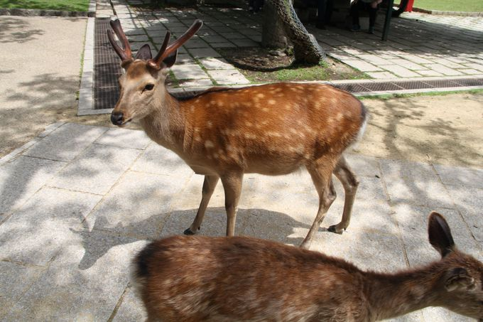 国の天然記念物「奈良の鹿」