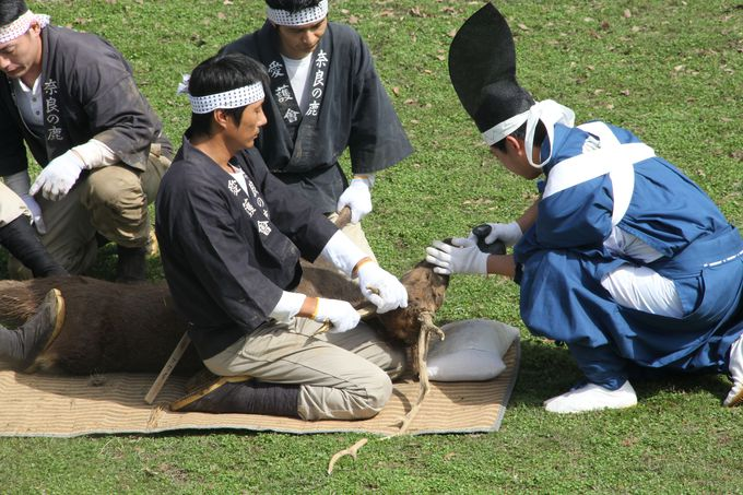 厳かに進む神事「鹿の角きり」