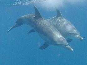 小笠原諸島で至福のドルフィンスイム!イルカとボニンブルーの海を楽しもう!