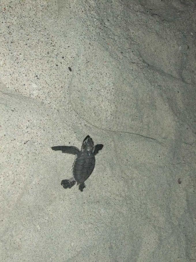 生まれたてのアオウミガメの赤ちゃん