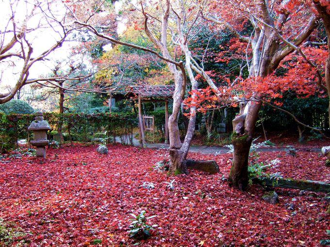 見事な散り紅葉です