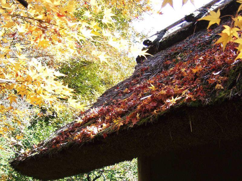 茅葺き屋根の紅葉が素敵なんです