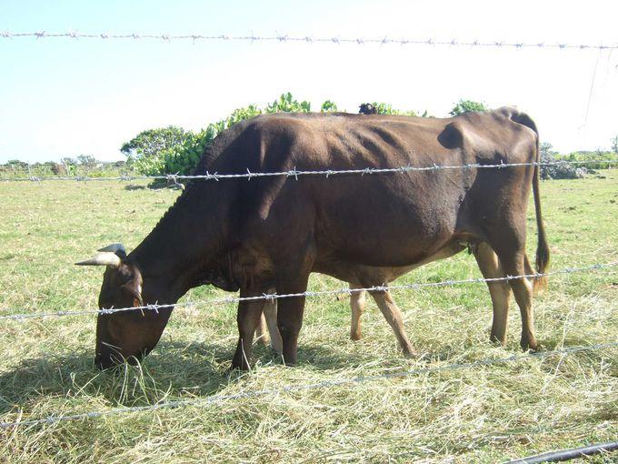 人よりも牛の数が10倍以上!
