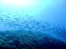 海の世界の弱肉強食見ちゃいました!世界自然遺産の小笠原の海中攻防