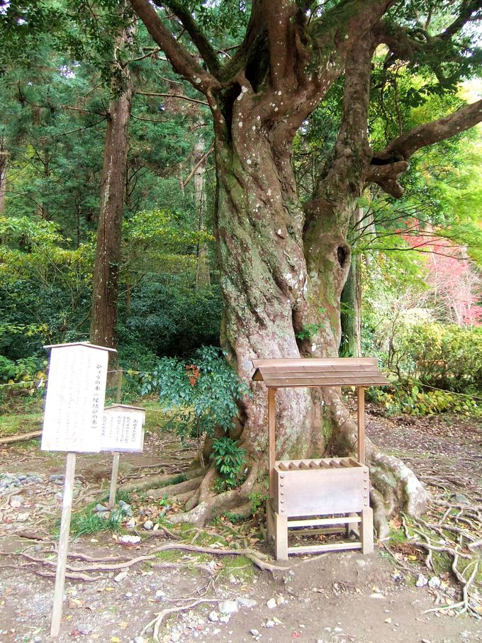 縁結びの御神木「ひょうの木」