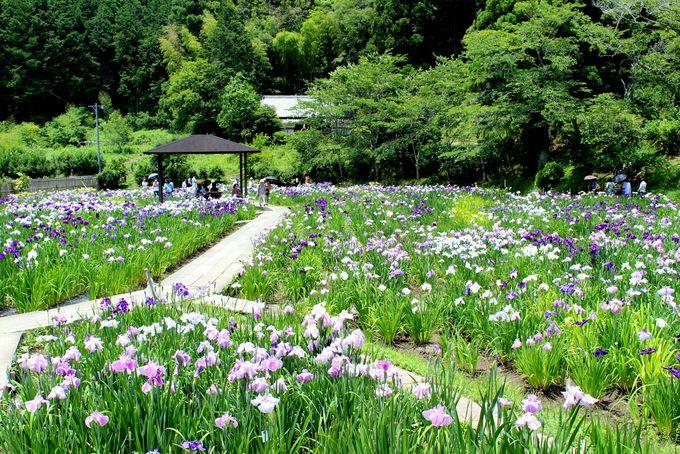 約1200坪の敷地一面に広がる日本の伝統美「花菖蒲」
