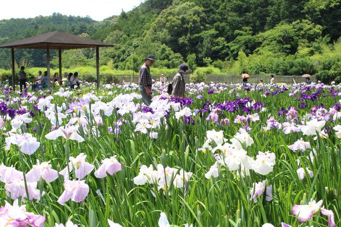 美しい花菖蒲に囲まれた中で散策を楽しもう