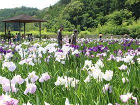 花菖蒲と青もみじが美しい!初夏の遠州の小京都・森町「小國神社」が素敵!