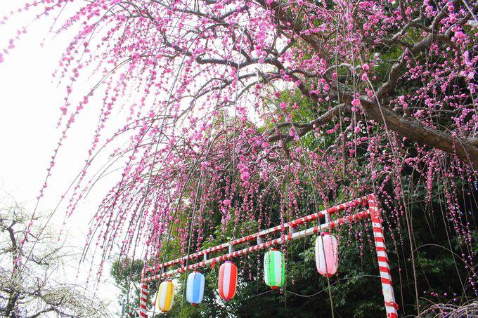 「あじさい」と「しだれ梅」の開花時期に合わせて開園する花庭園