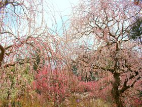 掛川「龍尾神社」は300本のしだれ梅の名所!境内にはドラえもんもいるよ