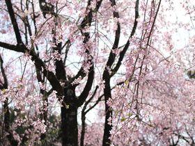 穴場的新名所!静岡県川根本町の徳山しだれ桜と桃沢の桜が美しい