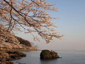 湖面の青さと桜のコントラストは圧巻!琵琶湖「海津大崎」の800本桜