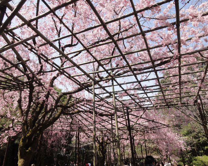 一面の桜!八重紅しだれ桜の屋根にうっとり「平安神宮 神苑」