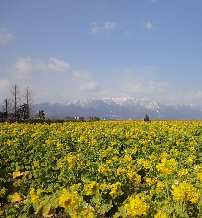 菜の花と残雪の山々の対比が美しい「滋賀・第一なぎさ公園」