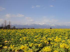 一面の菜の花畑で春気分満喫!琵琶湖「第一なぎさ公園」