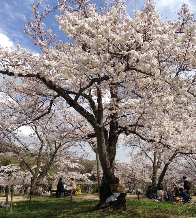 春には山全体を覆う約3000本の桜!