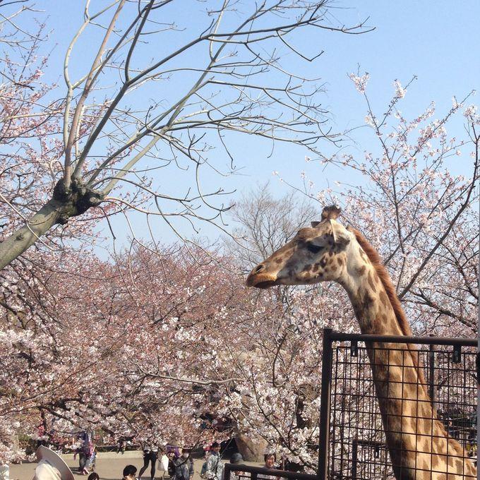 桜と動物達の可愛い写真が撮れる!