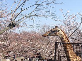 実は関西有数の桜スポット!子連れ花見に最適!神戸市立王子動物園